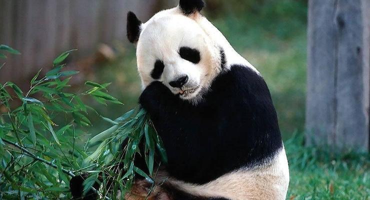 Самый дорогой в мире чай делают из экскрементов панды
