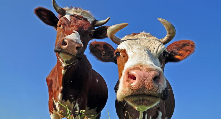 Молоко и мясо подешевеет: коровам подкинут деньжат