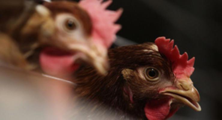 Богатый рынок ЕС полностью открыл свои двери для украинской птицы