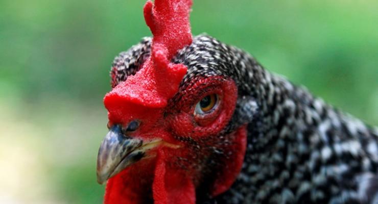 Украина начала поставки курятины в Евросоюз