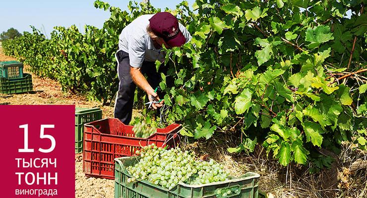 В Коблево установили виноградный рекорд