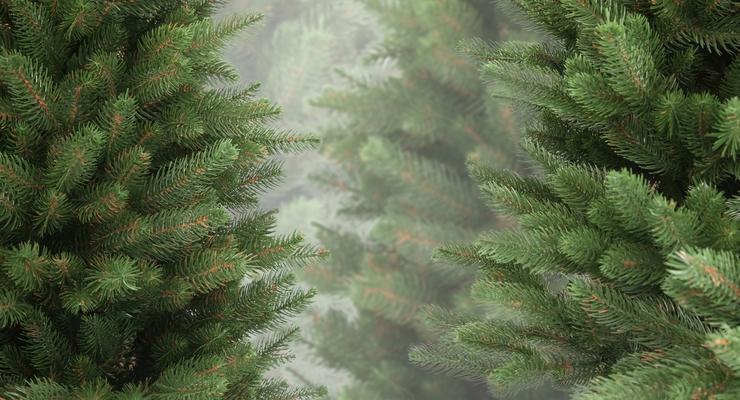 Сколько стоит живая елка в Киеве
