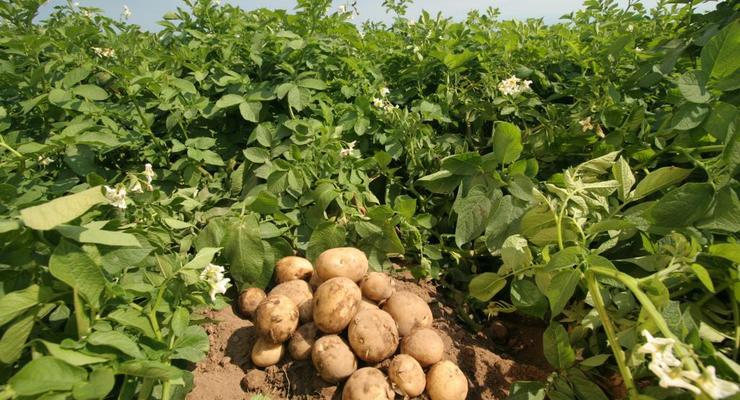 Беларусь запретила ввоз картошки из Украины