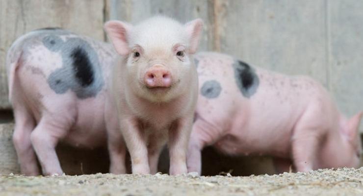 Где в Украине зафиксирована африканская чума свиней (инфографика)