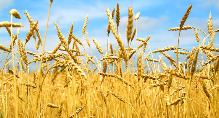 Индия войдет в тройку крупнейших импортеров украинской пшеницы
