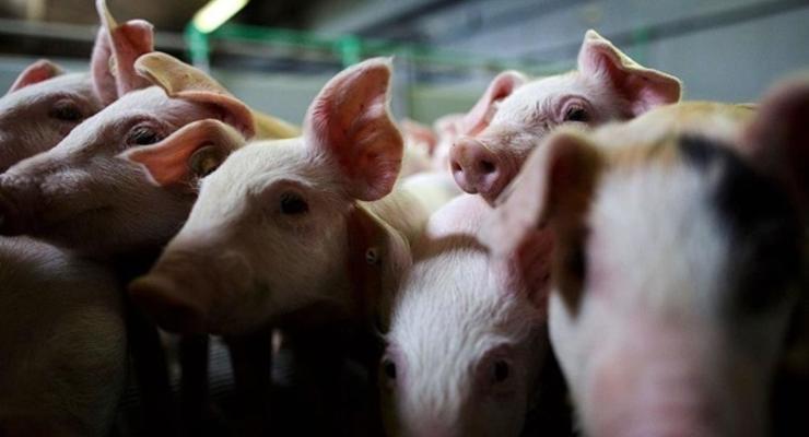 В России ограничили импорт украинской свинины из-за АЧС