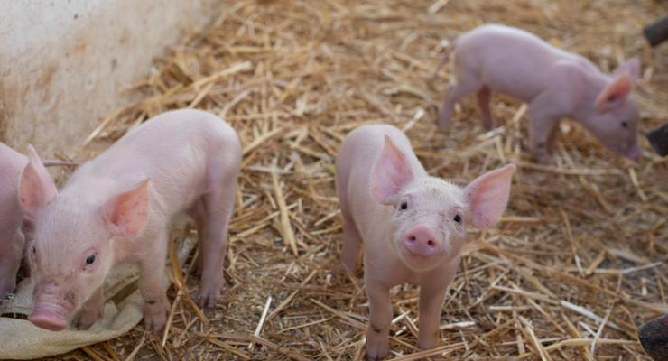 Молдова приостановила ввоз свинины из Украины
