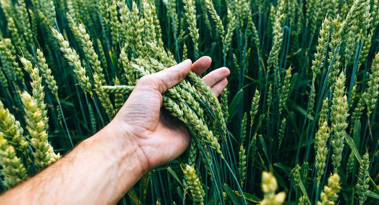 Петрашко дал прогноз по урожаю зерновых